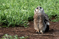 Verreaux's Eagle Owl, South Africa