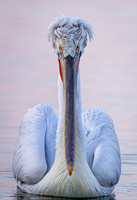 Dalmatian Pelican, Greece